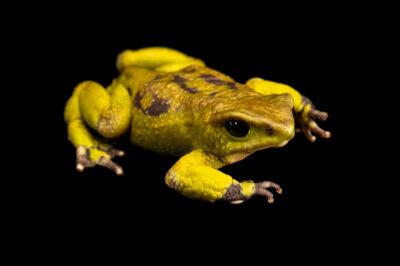 Photo: An endangered Mazán harlequin toad (Atelopus exiguus) at Centro Jambatu in Quito, Ecuador.