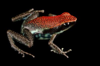 Photo: A rubi poison frog (Ameerega parvula) at Centro Jambatu in Quito, Ecuador.