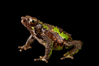 Photo: A critically endangered Morona Santiago subfoot toad (Atelopus halihelos) at Centro Jambatu in Quito, Ecuador.