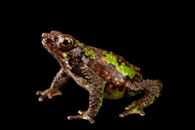 Photo: A critically endangered Morona Santiago subfoot toad (Atelopus halihelos) at Centro Jambatu in Quito, Ecuador.