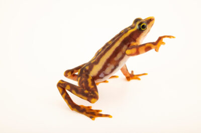 Photo: A Chinambi harlequin frog, Atelopus sp. nov.