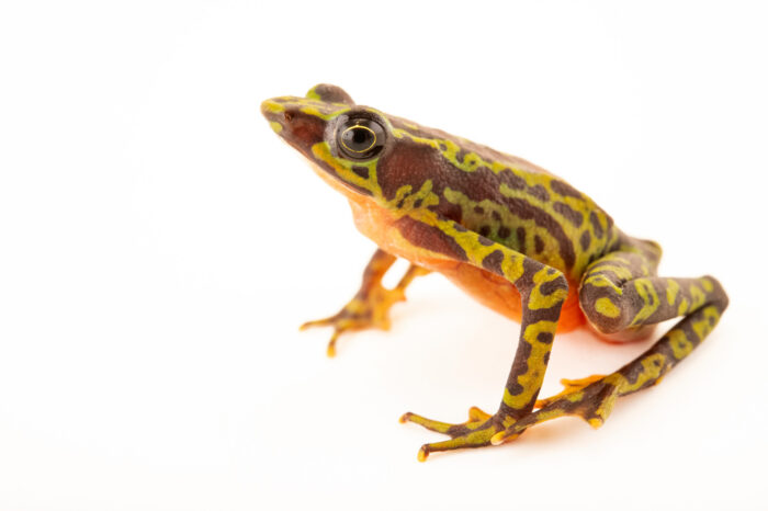 Photo: A critically endangered webbed harlequin frog, (Atelopus palmatus) a at Centro Jambatu in Quito, Ecuador.