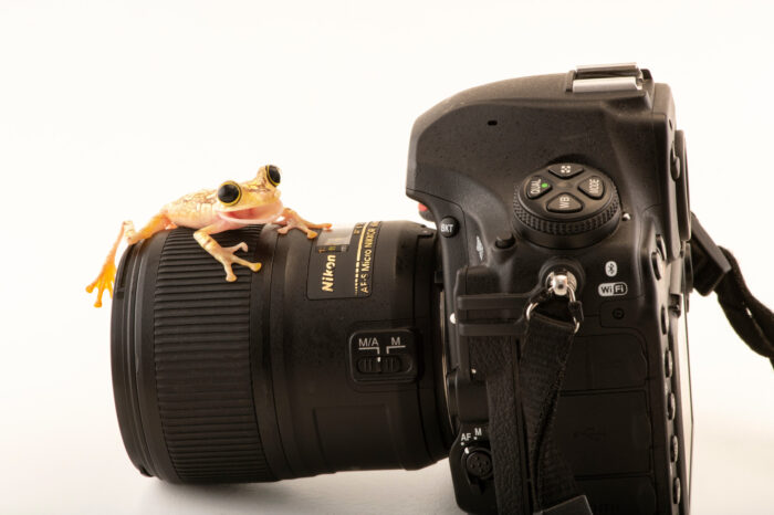 Photo: A painted tree frog (Boana picturata) sits on a camera at Centro Jambatu in Quito, Ecuador.