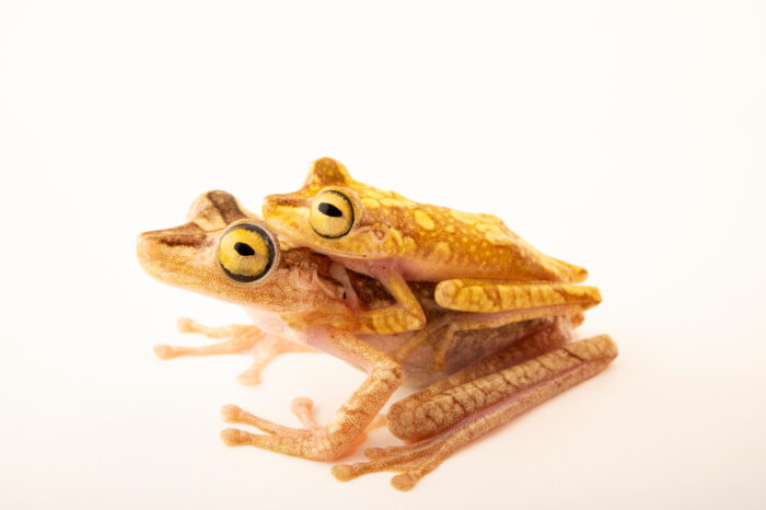 Photo: A pair of painted tree frogs (Boana picturata) in amplexus at Centro Jambatu in Quito, Ecuador.