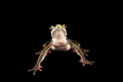 Photo: A critically endangered Coyne's harlequin frog (Atelopus coynei) at Centro Jambatu in Quito, Ecuador.