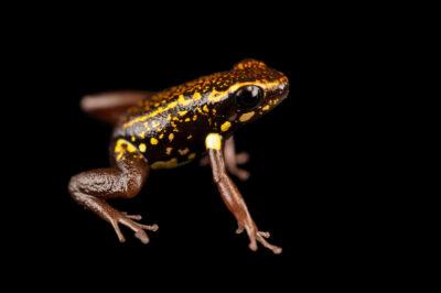 Photo: A Rio Santiago poison-dart frog (Dendrobates captivus) at Centro Jambatu in Quito, Ecuador.
