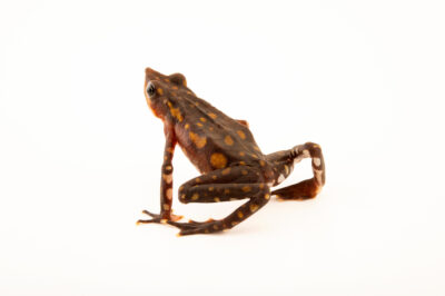 Photo: A longnose harlequin frog (Atelopus longirostris) at Centro Jambatu in Quito, Ecuador.