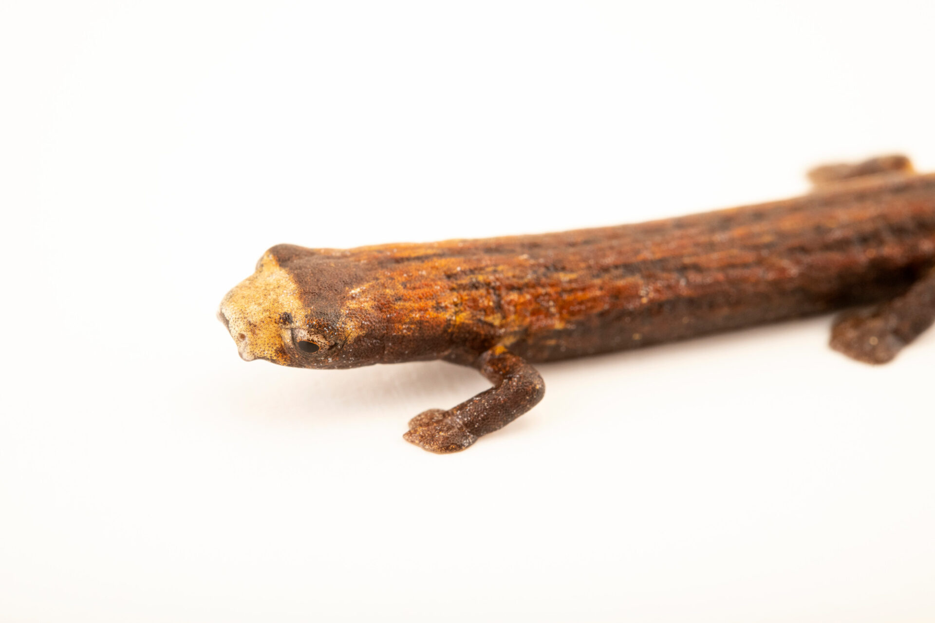 Photo: A Peru mushroom tongue salamander (Bolitoglossa peruviana) at Centro Jambatu in Quito, Ecuador.