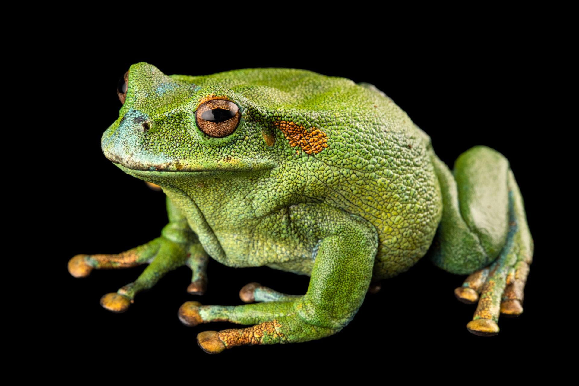 Photo: A ranger marsupial frog (Gastrotheca orophylax) at Centro Jambatu in Quito, Ecuador.