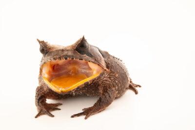 Photo: A helmet incubator frog (Hemiphractus scutatus) at Centro Jambatu in Quito, Ecuador.