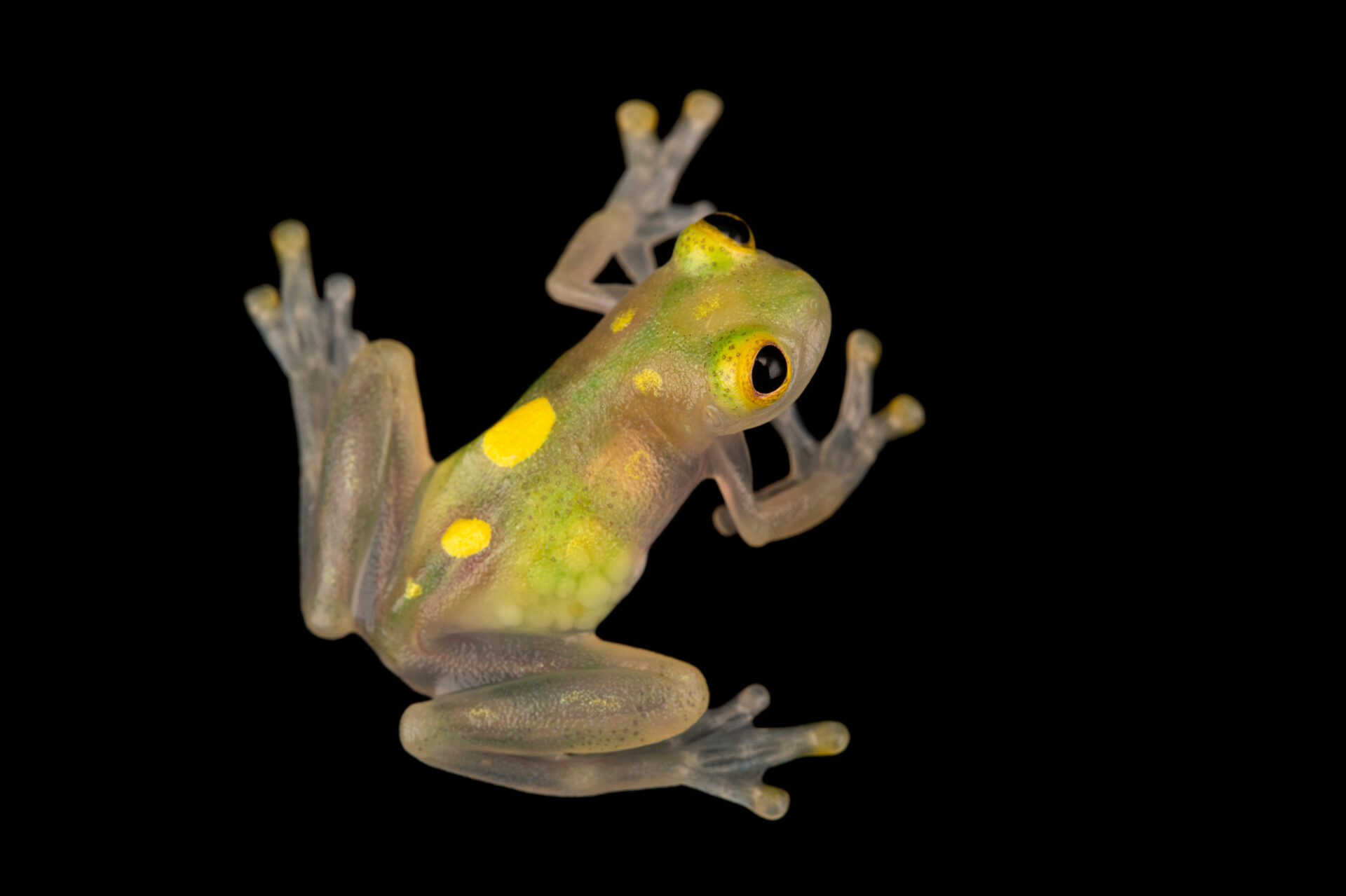 Photo: A sun glass frog (Hyalinobatrachium aureoguttatum) at Centro Jambatu in Quito, Ecuador.
