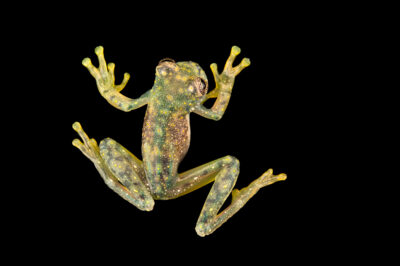 Photo: A yellow spotted cochran frog (Sachatamia albomaculata) at Centro Jambatu in Quito, Ecuador.