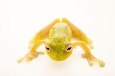 Photo: A Grandison glass frog (Nymphargus grandisonae) at Centro Jambatu in Quito, Ecuador.