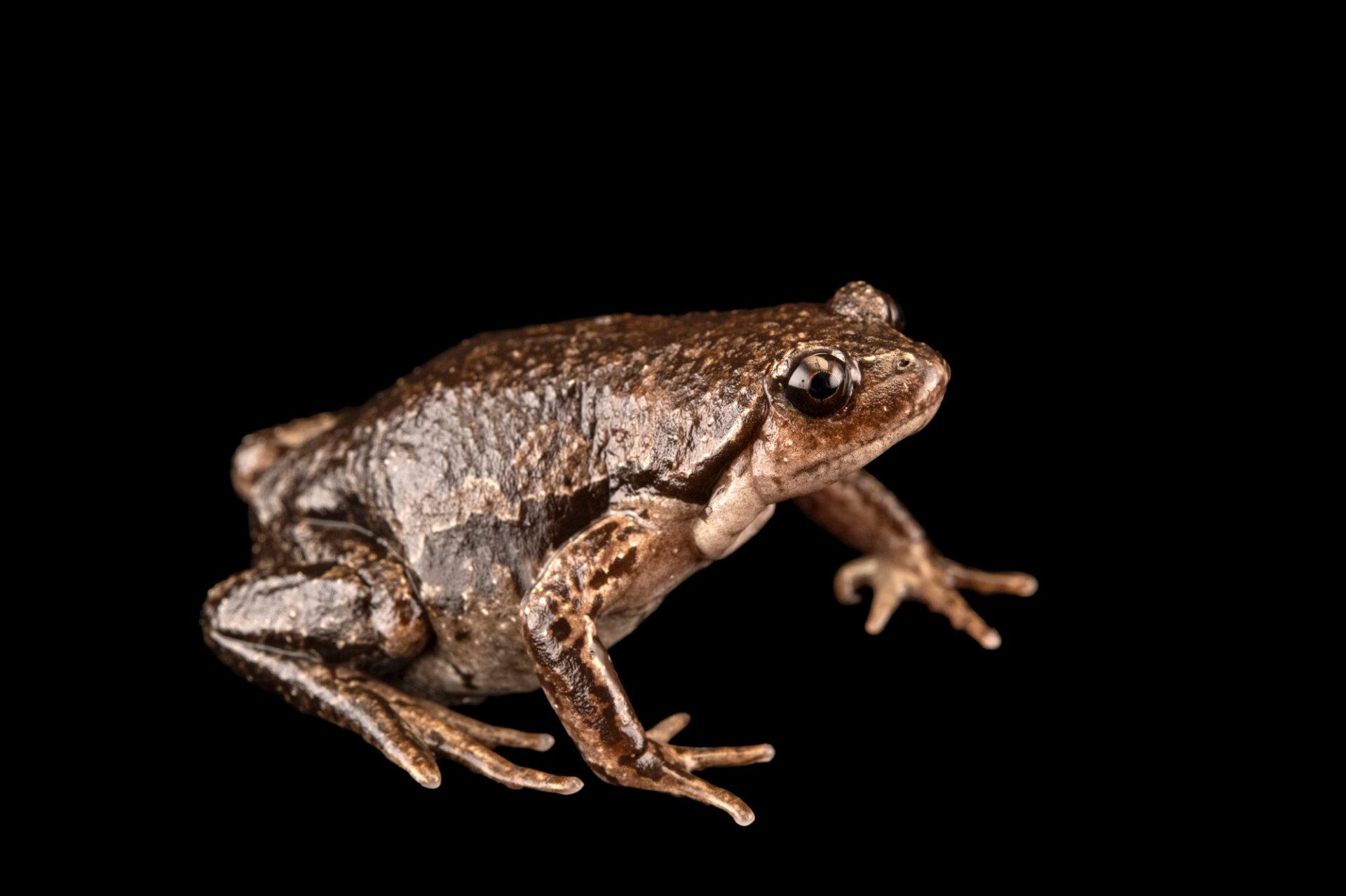 Photo: A Ecuadorean snub-nosed frog (Ctenophryne aequatorialis) at Centro Jambatu in Quito, Ecuador.