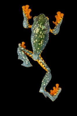 Photo: An Amazonian monkey frog (Cruziohyla craspedopus) at Centro Jambatu in Quito, Ecuador.