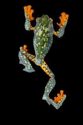 Photo: An Amazonian monkey frog (Cruziohyla craspedopus) at Centro Jambatu in Quito, Ecuador.