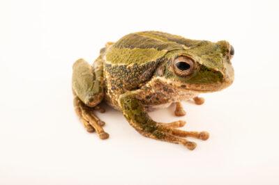 Photo: A female Lojana marsupial frog (Gastrotheca lojana) at Centro Jambatu in Quito, Ecuador.