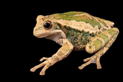 Photo: A male Lojana marsupial frog (Gastrotheca lojana) at Centro Jambatu in Quito, Ecuador.
