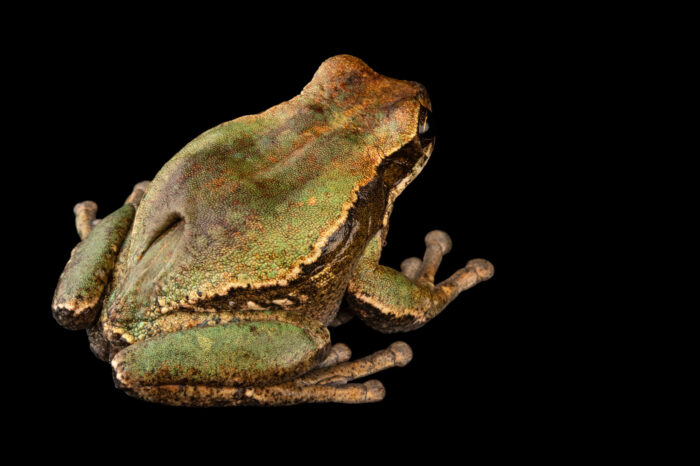 Photo: An endangered female gray-bellied marsupial frog (Gastrotheca litonedis) at Centro Jambatu in Quito, Ecuador.
