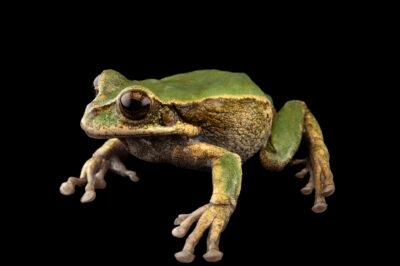 Photo: An endangered male gray-bellied marsupial frog (Gastrotheca litonedis) at Centro Jambatu in Quito, Ecuador.
