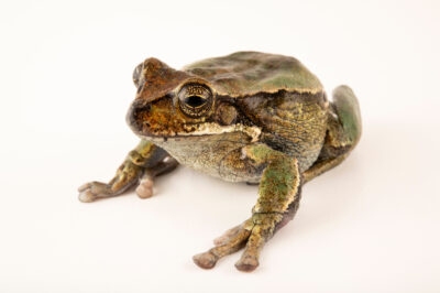 Photo: An endangered female gray-bellied marsupial frog (Gastrotheca litonedis) at Centro Jambatu in Quito, Ecuador.