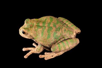 Photo: A male turtle carapaced marsupial frog (Gastrotheca testudinea) at Centro Jambatu in Quito, Ecuador.