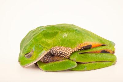 Photo: An endangered sleeping Ecuadorian monkey frog (Callimedusa ecuatoriana) at Centro Jambatu in Quito, Ecuador.