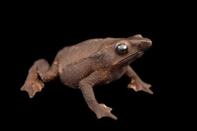 Photo: A female Festa's toad (Rhinella festae) at Centro Jambatu in Quito, Ecuador.