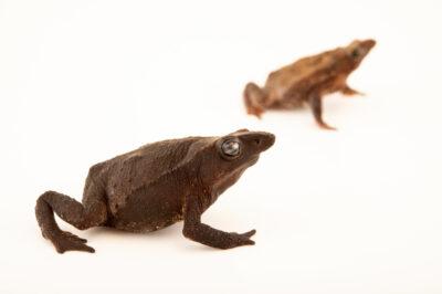 Photo: A female and a male Festa's toad (Rhinella festae) at Centro Jambatu in Quito, Ecuador.