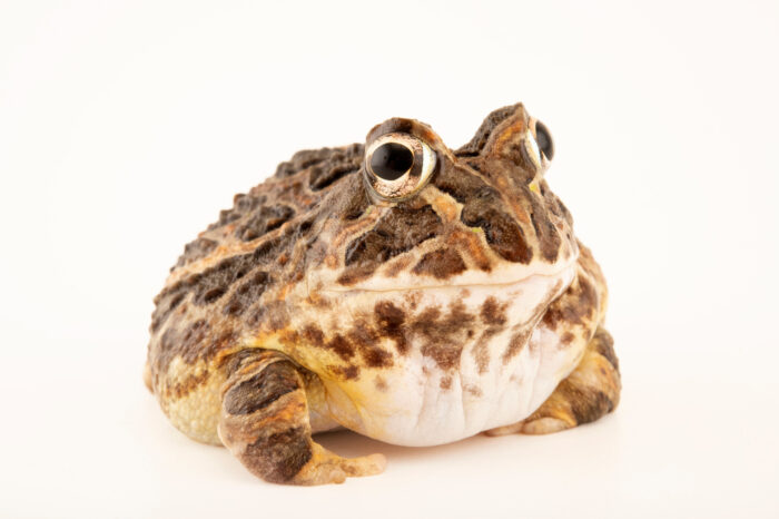 Photo: A pacific toad (Ceratophrys stolzmanni) at Centro Jambatu in Quito, Ecuador.