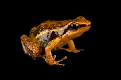 Photo: A new frog species (Hyloxalus sp. nov.