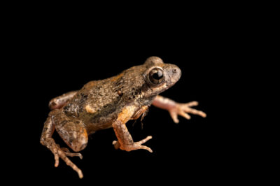 Photo: An unidentified noisy foam nest frog (Engystomops sp. Baquerizo Moreno) at Centro Jambatu in Quito, Ecuador.