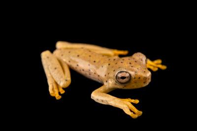 Photo: A juvenile Rosenberg gladiator frog (Hypsiboas rosenbergi) at Centro Jambatu in Quito, Ecuador.