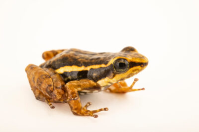 Photo: A venter motted rocket frog (Hyloxalus infragutattus) at Centro Jambatu in Quito, Ecuador.