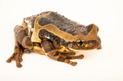 Photo: A quadrangular milky frog (Trachycephalus quadrangulum) at Centro Jambatu in Quito, Ecuador.