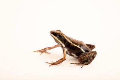 Photo: A boulenger poison dart frog (Epipedobates boulengeri) at Centro Jambatu in Quito, Ecuador.