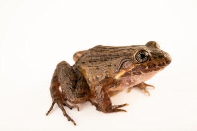 Photo: A spotted-vent thin-toed frog (Leptodactylus ventrimaculatus) at Centro Jambatu in Quito, Ecuador.