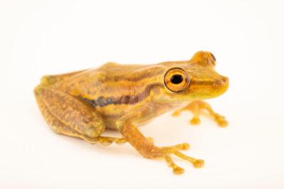 Photo: A Tsachila croaking frog (Scinax tsachila) at Centro Jambatu in Quito, Ecuador.