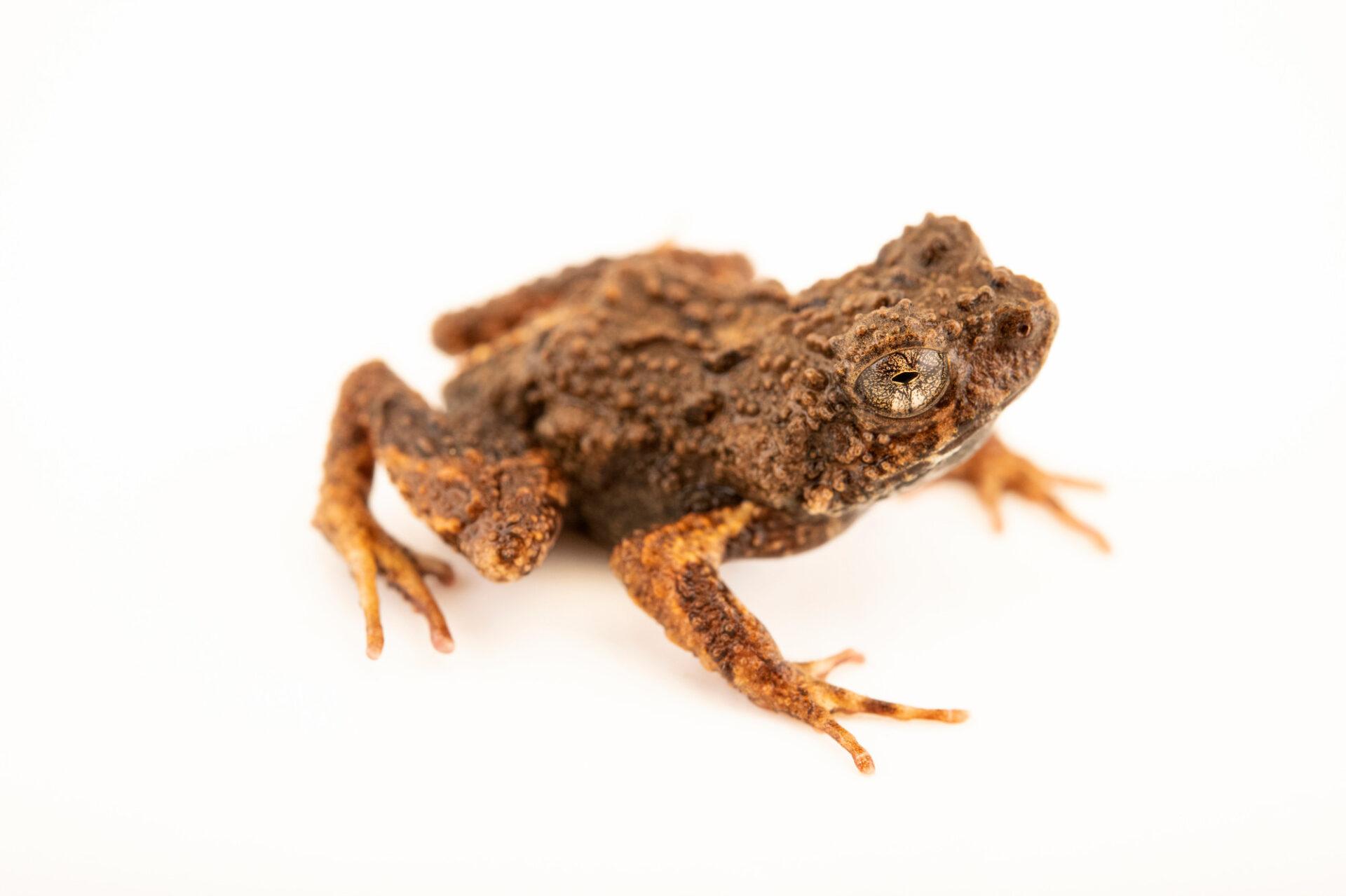 Photo: A Colorado foam-nest frog (Engystomops coloradorum) at Centro Jambatu in Quito, Ecuador.