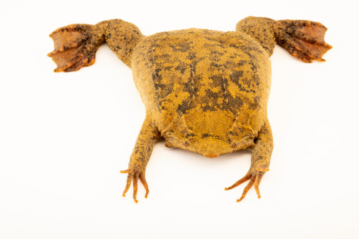 Photo: A common Suriname toad (Pipa pipa) at Centro Jambatu in Quito, Ecuador.