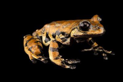 Photo: A Prince Charles stream frog (Hyloscirtus princecharlesi) at Centro Jambatu in Quito, Ecuador.