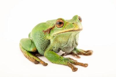 Photo: A silver marsupial frog (Gastrotheca plumbea) at Centro Jambatu in Quito, Ecuador.