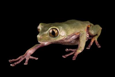 Photo: An endangered Ecuadorian monkey frog (Callimedusa ecuatoriana) at Centro Jambatu in Quito, Ecuador.