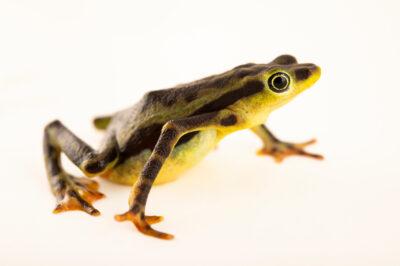 Photo: A male, endangered, elegant stubfoot toad (Atelopus elegans) at Centro Jambatu in Quito, Ecuador.