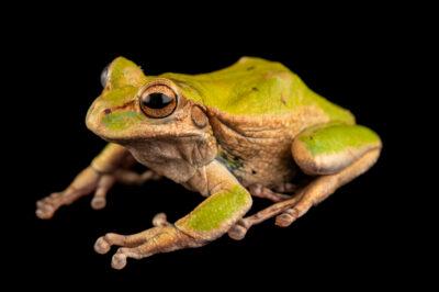 Photo: A female El Tambo marsupial frog (Gastrotheca elicioi) at Centro Jambatu in Quito, Ecuador.