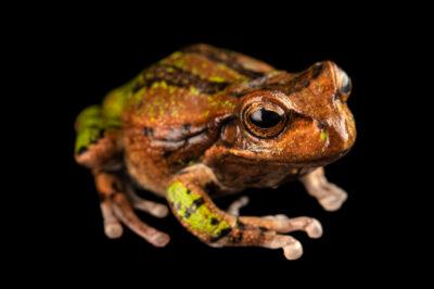 Photo: A male El Tambo marsupial frog (Gastrotheca elicioi) at Centro Jambatu in Quito, Ecuador.