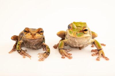 Photo: A pair of El Tambo marsupial frogs (Gastrotheca elicioi) at Centro Jambatu in Quito, Ecuador.
