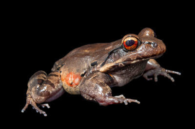 Photo: A Knudsen's frog (Leptodactylus knudseni) from the wild in Manaus, Brazil.