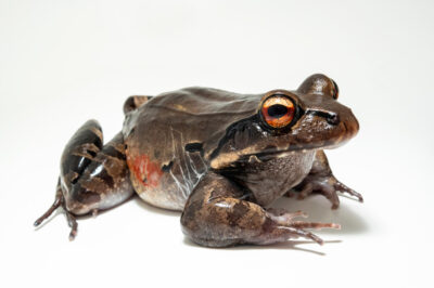 Photo: A Knudsen's frog, Leptodactylus knudseni, from the wild in Manaus, Brazil.