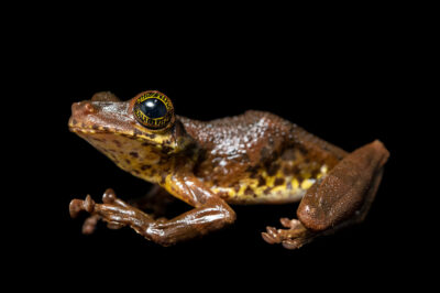 Photo: A Manaus slender-legged tree frog (Osteocephalus taurinus) from the wild in Manaus, Brazil.